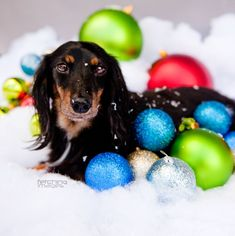 Christmas Dachshund...