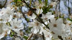 Delicate damson blossom in the garden at Orchard Oast Flowers supporting a bumble bee!
