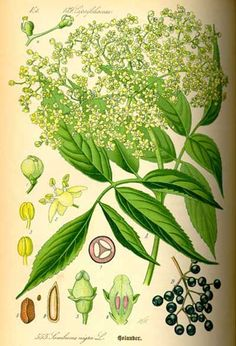 MALINALLI · herbolaria médica: SAUCO, elder or elderberry - Sambucus mexicana, Sambucus nigra