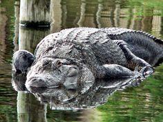 American Alligator Reptiles, Lizards, Amphibians, Amazing Beasts, Artwork Ideas, Sea Creatures, Prehistoric, Spirit Animal, Predator