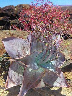 Aloe karasburgensis