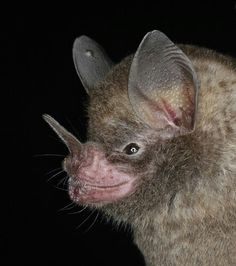Sowell's Short-tailed Bat