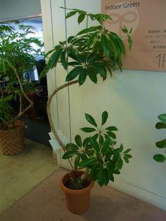 シェフレラ類 ウコギ科植物たち ② | プロトリーフの観葉植物ブログ