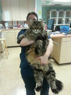 Frankie, a Maine Coon Cat