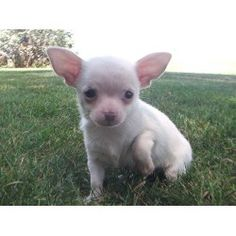 Chihuahua or piglet?