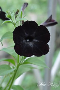 black petunia...these are really neat. Look sharp in my flower beds!