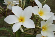 San Germain Plumeria Cutting, Maui Plumeria Gardens