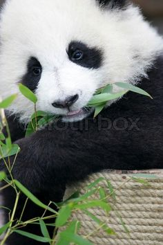 Giant Panda Cub. Animals Photography. Find more funny animals images on www.colourbox.com