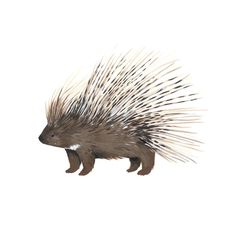 Crested porcupines are found in parts of Africa and the Mediterranean. Its quills are used for defense and are actually modified hairs; they grow back after falling out. Fun fact: porcupines can't shoot their quills as was once commonly believed, but they can cause serious damage by backing up and stabbing their attackers. #rodentia #kelzukisanimalkingdom