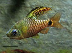 oreichthys crenuchoides | Oreichthys crenuchoides