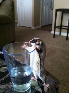 No, it's a sugar glider gliding effortlessly through the air. Get ready for your daily dose of cuteness because we gathered a list of the most adorable pictures of sugar gliders. Sugar Glider Baby, Sugar Gliders, Sugar Bears, Flying Squirrel, Pets 3, My Little Baby, Arno, Cute Memes, Cute Baby Animals
