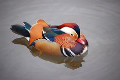 Kev Chapman - Mandarin Duck - 10/25/2007