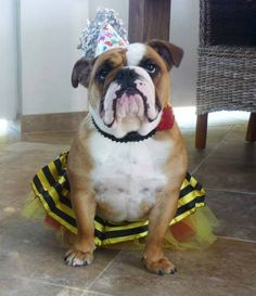 ❤ Coco ... the Birthday Princess. A youthful 1yrs old!! ❤ Posted on Bulldog Mom