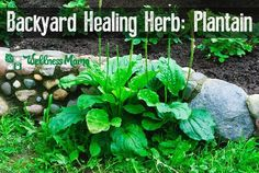 Plantain leaf is a wonderful herb that grows in many places and can help fight infection, skin problems, bee stings, and more.