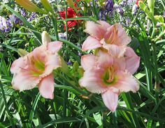 Daylily Soft Summer Night