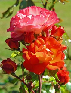 Showing The Different Colour Roses That This Floribunda Bush Produces. This  Is A Floribunda Bush Rose Introduced In 2004 Bred By Kordes.