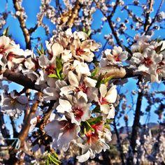 you can still enjoy the #spanish #almond  #blossom in #Abla #Almeria #Alpujarra #SierraNevada