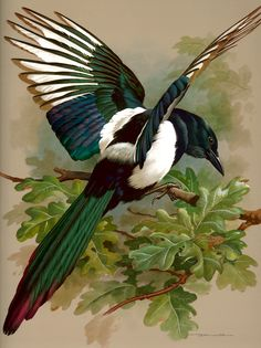 I chose this pin, by Basil Ede because of the detailed and colourful magpie. I also liked the washed background with the realistic oak leaves