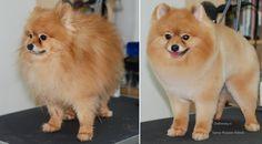 Стрижка померанского шпица до и после. Grooming (grooming) Pomeranian before and after. ZooGruming.ru