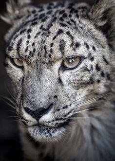 Ramil the snow leopard by Paul Manaig