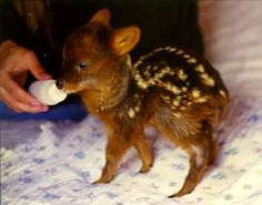 Pudu deer born | Pudu deer: Smallest in the world born in New York zoo - San Francisco ...
