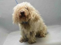 ♡ SAFE ♡ SNOWY – A0963826 **RETURNED 05/24/16*** NEUTERED MALE, WHITE, POODLE MIN, 5 yrs OWNER SUR – EVALUATE, NO HOLD Reason PERS PROB Intake condition EXAM REQ Intake Date 05/24/2016, From NY 11226, DueOut Date 05/24/2016,