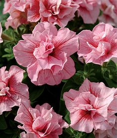 "Petunia 'Summer Madness' - Double Hybrid - Spectacular new color in this superior garden performer. Generous masses of big 3"", fully double flowers are rich salmon with a unique red vein."