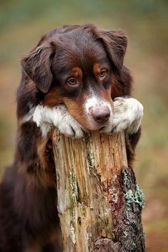 Sweet portrait of an Aussie puppy
