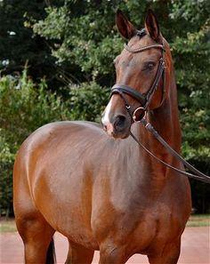 Horses for sale: DADIVA