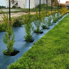 Leyland Cypress (Cupressocyparis leylandii) at the best price - Buy online, any size available, unit offer or by quantity, fast delivery from our nurseries. Arborvitae Landscaping, Privacy Landscaping, Backyard Privacy, Small Backyard Pools, Front Yard Landscaping, Fast Growing Privacy Shrubs, Shrubs For Privacy, Privacy Trees, Privacy Hedge