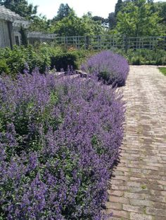 """Nepeta """"Walker's Low"""" planted as a hedge, similar to lavendar."""