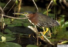 green heron                                                                                                                                                       Search                                                                                                                   Search in:                          Website                         Bird Guide