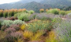 Hilltop full sun garden in California. The plants chosen are a hardy blend of Mediterranean and California natives. Design by Rebecca Sweet.