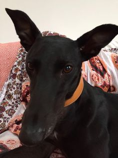Gorgeous rescue boy Keats - finally landed on his feet and much loved in his new home