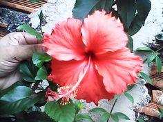 Um hibisco vermelho