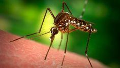 Cómo hacer repelente natural de Citronella para mosquitos