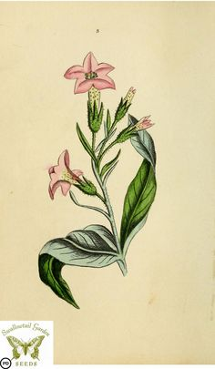 Tobacco. Nicotiana tabacum. Flora and Thalia; or, Gems of flowers and poetry- being an alphabetical arrangement of flowers, with appropriate poetical illustrations, embellished with coloured plates (1836)