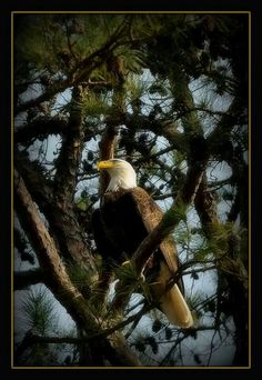 Bald Eagle 2010 Louisiana Burg Ransom