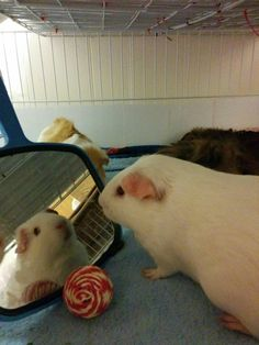 Guinea pigs love mirrors!