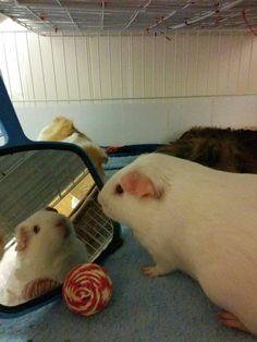 Guinea pigs love mirrors!