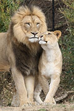 Lion & Lioness Photo by ©Mark Dumont Lion Images, Lion Pictures, Nature Animals, Animals And Pets, Cute Animals, Wild Animals, Beautiful Lion, Animals Beautiful, Beautiful Couple