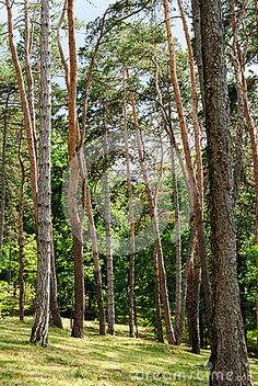 Photo about Tall pine trees forest in the sun with grass on the ground. Image of bark, coniferous, nigra - 55435195 Pine Trees Forest, Grass, Outdoor Structures, Sun, Stock Photos, Plants, Image, Grasses, Plant