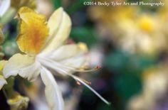 Yellow Azalea Fine Art Photo Print by BeckyTylerArt on Etsy, $20.00
