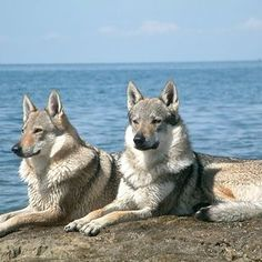 Here's a breed Czechoslovakian Wolfdog or  Vlack you don't hear much about! Very beautiful