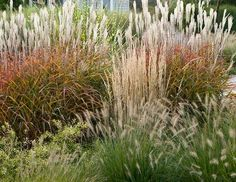 grasses for way out back, by arborvitae: (back to front) flame grass, feather reed grass, fountain grass