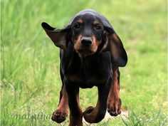 American Black and Tan Coonhound Dog