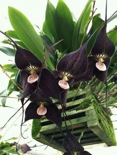 How Herb Back Garden Kits Can Get Your New Passion Started Off Instantly Bellas Rare Orchids, Dendrobium Orchids, Rare Flowers, Black Flowers, Flowers Nature, Exotic Flowers, Amazing Flowers, Beautiful Flowers, Monkey Orchid