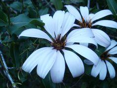 beyaz Mutisia