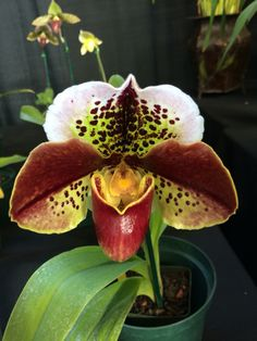 SF Orchid Expo Paph