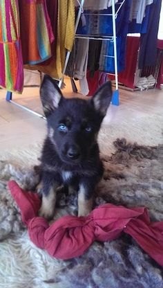 Gerberian Shepsky Puppies for Sale in Lehigh Acres, FL 33971 - 904.435 ...